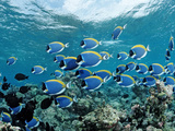 Schooling Surgeonfishes and Powder Blue Tangs (Acanthurus Leucosternon) Maldivesn Ocean Lmina fotogrfica por Reinhard Dirscherl