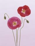 Poppy Flowers and Flower Buds (Papaver Rhoeas) Photographic Print by Wally Eberhart