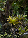 Bromeliad (Tillandsia Insularis), Galapagos Islands, Ecuador Photographic Print by Gerald & Buff Corsi
