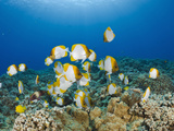 Pyramid Butterflyfishes (Hemitaurichthys Polylepis), Molokini Crater, Maui, Hawaii, USA Photographic Print by Reinhard Dirscherl