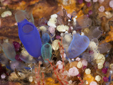 Colorful Colony of Sea Squirts (Rhopalaea), Alam Batu, Bali, Indonesia Photographic Print by Reinhard Dirscherl