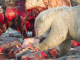 Polar Bear (Ursus Maritimus) Feeds on the Carcass of a Bowhead Whale (Balaena Mysticetus) Photographic Print by Patrick Endres