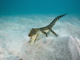 Saltwater Crocodile Swimming Near the Sandy Sea Floor (Crocodylus Porosus), Micronesia, Palau Photographic Print by Reinhard Dirscherl