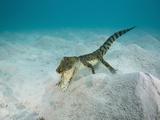 Saltwater Crocodile Swimming Near the Sandy Sea Floor (Crocodylus Porosus), Micronesia, Palau Photographic Print by Reinhard Dirscherl