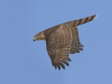 Sharp-Shinned Hawk in Flight Photographic Print by Richard Ettlinger