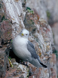 Black Legged Kittiwake (Rissa Tridactyla), Spitsbergen Island, Svalbard, Norway Reproduction photographique par Buff & Gerald Corsi