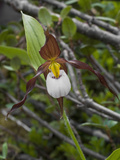 Mountain Lady's Slipper (Cypripedium Montanum), Glacier Bay National Park, Alaska Photographic Print by Gerald & Buff Corsi
