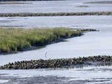 Tidal Salt Marshes with Smooth Cordgrass, Eastern Oyster, Great Egret, Stono River Photographic Print by Marc Epstein