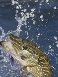 Northern Pike (Esox Lucius) Surfacing with a Lure in its Mouth Photographic Print by Wally Eberhart