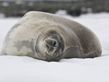 Weddell Seal Resting on Ice, Leptonychotes Weddellii, Antarctica Photographic Print by Gerald & Buff Corsi