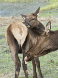 Female and Young Elk Grooming (Cervus Elaphus), Alaska, USA Photographic Print by Buff & Gerald Corsi