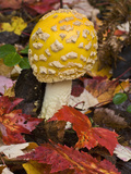 Fly Agaric (Amanita Muscaria) a Poisonous and Hallucinogenic Mushroom, Lake Superior State Forest Fotografiskt tryck av Gerald & Buff Corsi