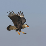 Crested Caracara in Flight (Caracara Cheriway) Photographic Print by Richard Ettlinger