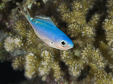 Lunar Fusilier (Caesio Lunaris) Marsa Alam, Red Sea, Egypt Photographic Print by Reinhard Dirscherl