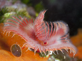 Tube Worm (Serpula Vermicularis), Cap De Creus, Costa Brava, Spain Photographic Print by Reinhard Dirscherl