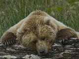 Grizzly Bear, (Ursus Arctos) Hallo Bay, Katmai National Park, Alaska Photographic Print by Gerald & Buff Corsi