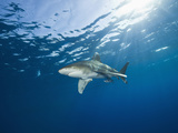 Oceanic Whitetip Shark, Carcharhinus Longimanus, Brother Islands, Red Sea, Egypt Photographic Print by Reinhard Dirscherl