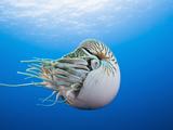 Chambered Nautilus (Nautilus Pompilius), Great Barrier Reef, Australia Photographic Print by Reinhard Dirscherl