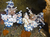 Harlequin Shrimp (Hymenocera Elegans) Sitting Together on Coral, Lembeh Strait, Sulawesi, Indonesia Photographic Print by Christopher Crowley