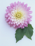 Gay Princess Variety of Waterlily Class Dahlia Flower Photographic Print by Wally Eberhart