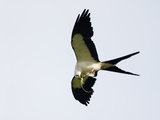 Swallow-Tailed Kite Flying with Lizard Prey in its Bill and Talons (Elanoides Forficatus) Photographic Print by John Cornell