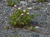 Pacific Beach Strawberry (Fragaria Chiloensis Pacifica), Glacier Bay National Park, Alaska, USA Photographic Print by Gerald & Buff Corsi