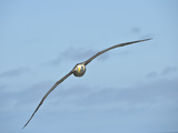 Waved Albatross Flying (Phoebastria Irrorata), Punta Suarez, Espanola Island, Galapagos Islands Photographie par Gerald &amp; Buff Corsi