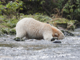 Kermode or Spirit Black Bear Variety (Ursus Americanus Kermodei) Fishing for Salmon Photographic Print by Cheryl Ertelt
