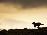 Gray Wolf Running (Canis Lupus), Denali National Park, Alaska, USA Photographic Print by Patrick Endres