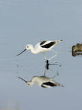 American Avocet (Recurvirostra Americana), Merritt Island National Wildlife Refuge, Florida Photographic Print by Marc Epstein