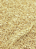 Wheat Stem and Grains Photographic Print by Wally Eberhart