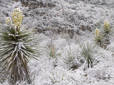 Torrey's or Great Yuccas (Yucca Torreyi) with Snow, Carlsbad Caverns National Park, New Mexico, USA Photographic Print by Clint Farlinger