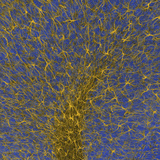 Cerebellar Glia, GFAP Labeling, Confocal Microscopy Photographic Print by Thomas Deerinck