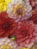 A Mixture of Watercolors Variety Dahlia Flowers Photographic Print by Wally Eberhart