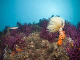 Spiral Tube Worm on Coral Reef (Spirographis Spallanzani), Cap De Creus, Costa Brava, Spain Photographic Print by Reinhard Dirscherl