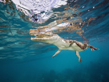 Saltwater Crocodile, Crocodylus Porosus, Queensland, Australia Photographic Print by Reinhard Dirscherl
