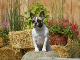 French Bulldog Photographic Print by Cheryl Ertelt