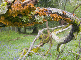 Moss and Lichens on a Twisted Tree Branch, Lake District, United Kingdom Photographic Print by Ashley Cooper