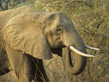 Afrian Elephant Head (Loxodonta Africana), South Luangwa National Park, Zambia Photographic Print by Gary Cook
