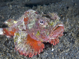 Devil Scorpionfish (Scorpaenopsis Diabolus), Sitting on Coral Sand, Indonesia Photographic Print by Christopher Crowley