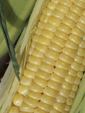 Close-Up of an Ear of Kandy Korn Variety Sweet Corn Photographic Print by Wally Eberhart