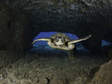 Green Sea Turtle (Chelonia Mydas) an Endangered Species, Swims Through a Tunnel Photographic Print by David Fleetham
