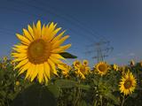 Power Lines over Sunflower Field (Helianthus Annuus), Munich, Bavaria, Germany Photographic Print by Reinhard Dirscherl