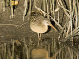 Clapper Rail (Rallus Longirostris) in Mangrove Roots, Merritt Island National Wildlife Refuge Photographic Print by Marc Epstein