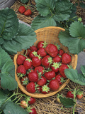 Strawberry (Sparkle Variety) Harvest in a Basket Photographic Print by Wally Eberhart