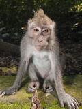 Longtailed Macaque (Macaca Fascicularis), Bali, Indonesia Photographic Print by Reinhard Dirscherl