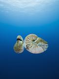 Nautilus, (Nautilus Pompilius), Great Barrier Reef, Australia Photographic Print by Reinhard Dirscherl