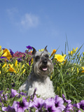Miniature Schnauzer Sitting in a Flower Bed, MR Photographic Print by Cheryl Ertelt