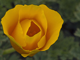 California Poppy (Eschscholzia Californica) Is the State Flower of California Photographic Print by Gerald & Buff Corsi
