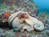 Common Octopus over Reef (Octopus Vulgaris), Cap De Creus, Costa Brava, Spain Fotoprint van Reinhard Dirscherl